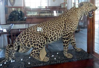 3Combiatore - Leopard_at_Gass_Forest_Museum,_Coimbatore,_Tamil_Nadu,_India